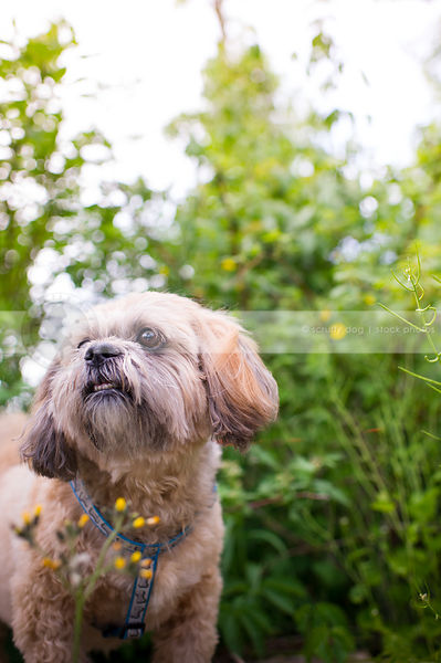 small groomed tan lhasa apso dog with summer flowers