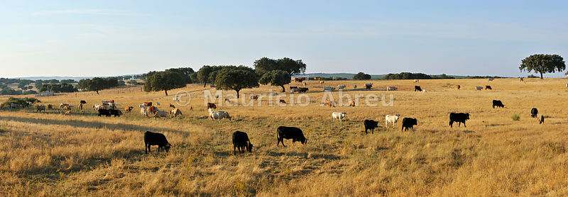 Cattle grazing in Avis, Alentejo. Portugal