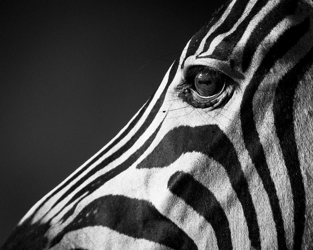 9625-Side_view_of_zebra_Laurent_Baheux