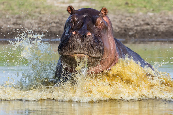 Young Male Hippo Rising Out of Waterhole in a Show of Mock Aggression