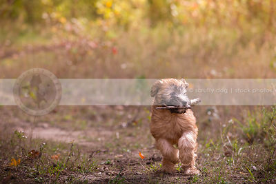 soft coated wheaten puppy fetching carrying stick running in field