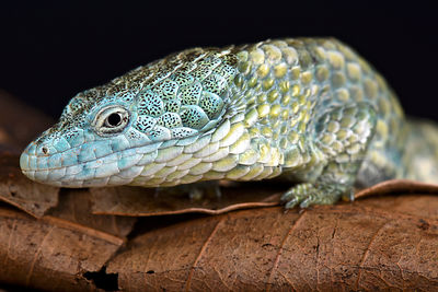 Mixtecan arboreal alligator lizard (Abronia mixteca)  photos
