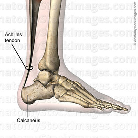 ankle-achilles-tendon-calcaneus-foot-lateral-skin-names
