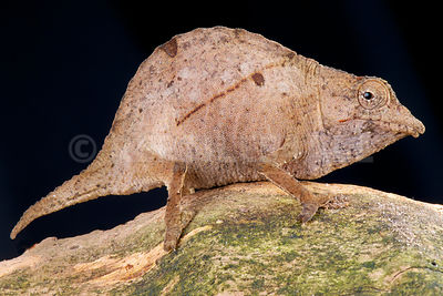Usumbara stumptail chameleon (Rhampholeon temporalis) photos