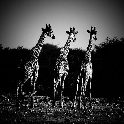 9-Rear_view_of_three_giraffes_Laurent_Baheux