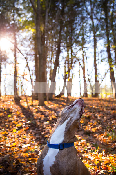 senior brindle dog looking skyward in sunlit autumn forest