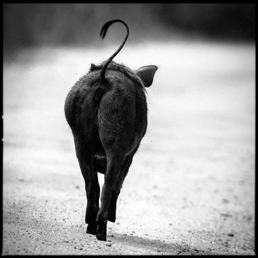 4215-Bottom_of_warthog_South_Africa_2008_Laurent_Baheux