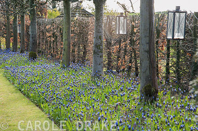 The lime avenue underplanted with Muscari latifolium. Wollerton Old Hall, Hodnet, Market Drayton, Shropshire, UK