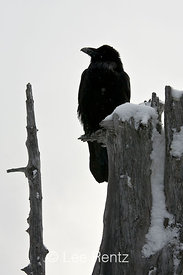 Common Raven (Corvus corax) perched on a dead tree on Hurricane Ridge, Olympic National Park, Olympic Peninsula, Washington, USA, March, 2009_WA_8159