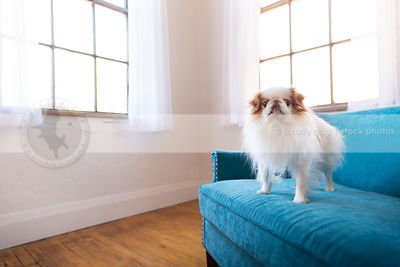 small dog standing on blue settee by windows indoors
