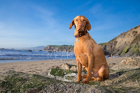 Red Vizsla Dog with Serious Expression Sitting on Rock at Beach  under Blue Skies with sweeping View of Cliffs and Ocean in Background