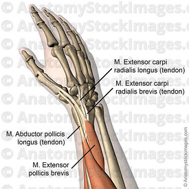 forearm-musculus-extensor-carpi-radialis-longus-brevis-abductor-pollicis-tendon-tendons-muscle-back-skin-names