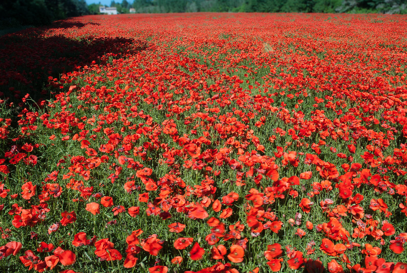 Coquelicots, Vaucluse, France