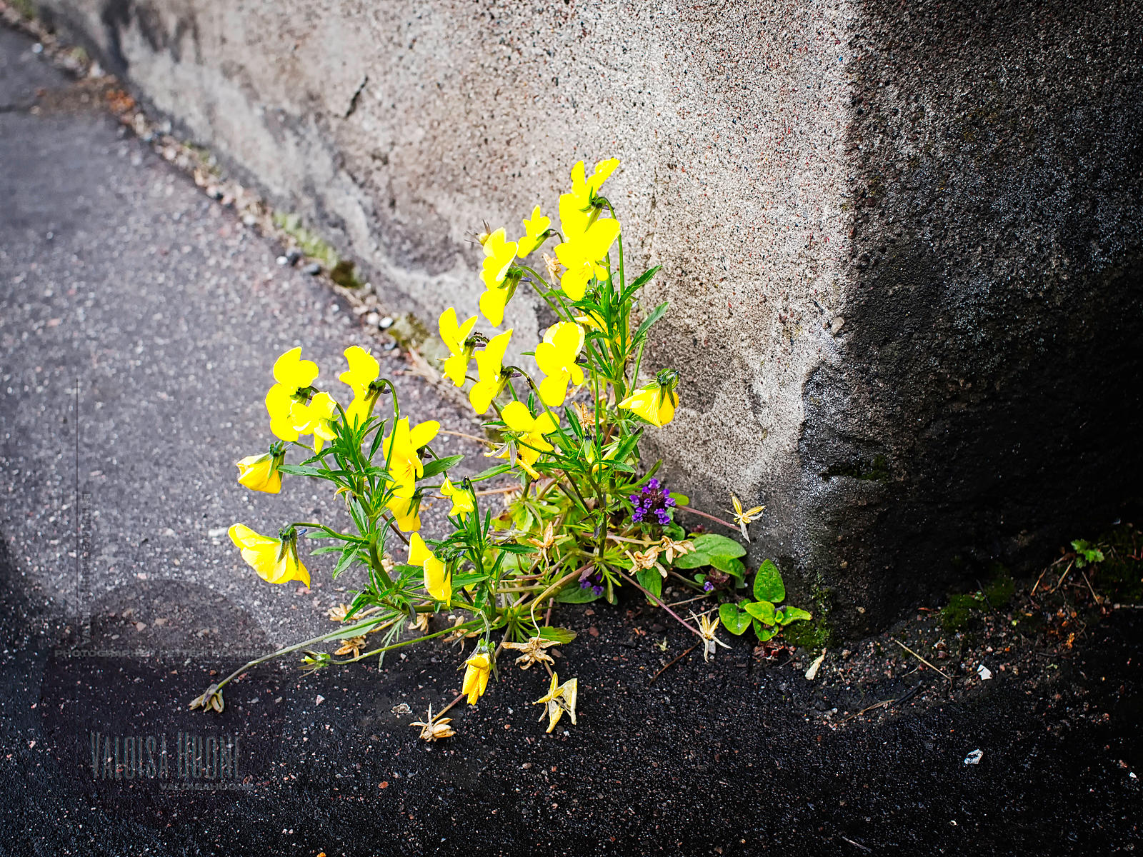 WILDERED YELLOW VIOLA. Narrow gap between the wall and asphalt is enough.