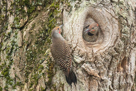 May - Northern Flickers