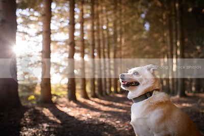 small blond chihuahua cross sitting in forest with sunflare