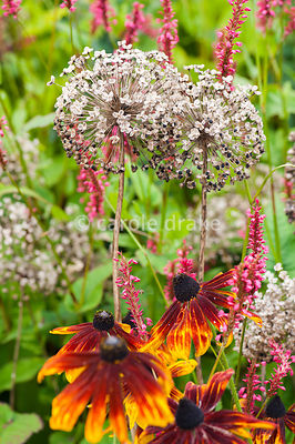 Bronze annual rudbeckias with papery seedheads of Allium hollandicum in the hot border. Helmsley Walled Garden, Helmsley, York, North Yorkshire, UK