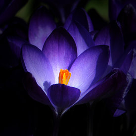Crocus photos
