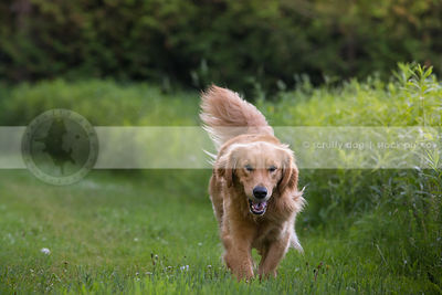 golden dog with tail up walking in mowed grass in park in summer