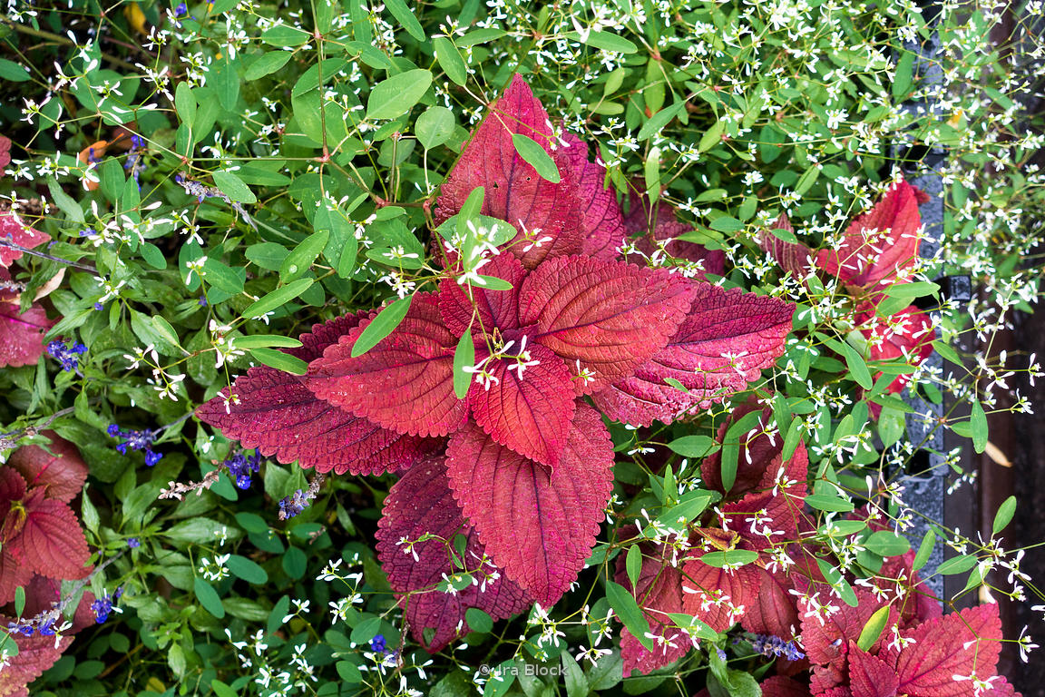 A coleus plant on a rainy day in Chelsea, Manhattan