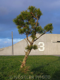 The - small - Pine tree