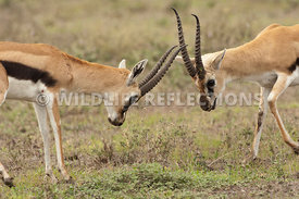 thomsons_gazelle_battle_39