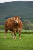 Limousin cow in upland pasture, Cumbria, UK