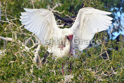 African Spoonbills (Platalea alba) mating, River Chobe, Botswana: Image 3 of 3 to show the wings of the male in different positions