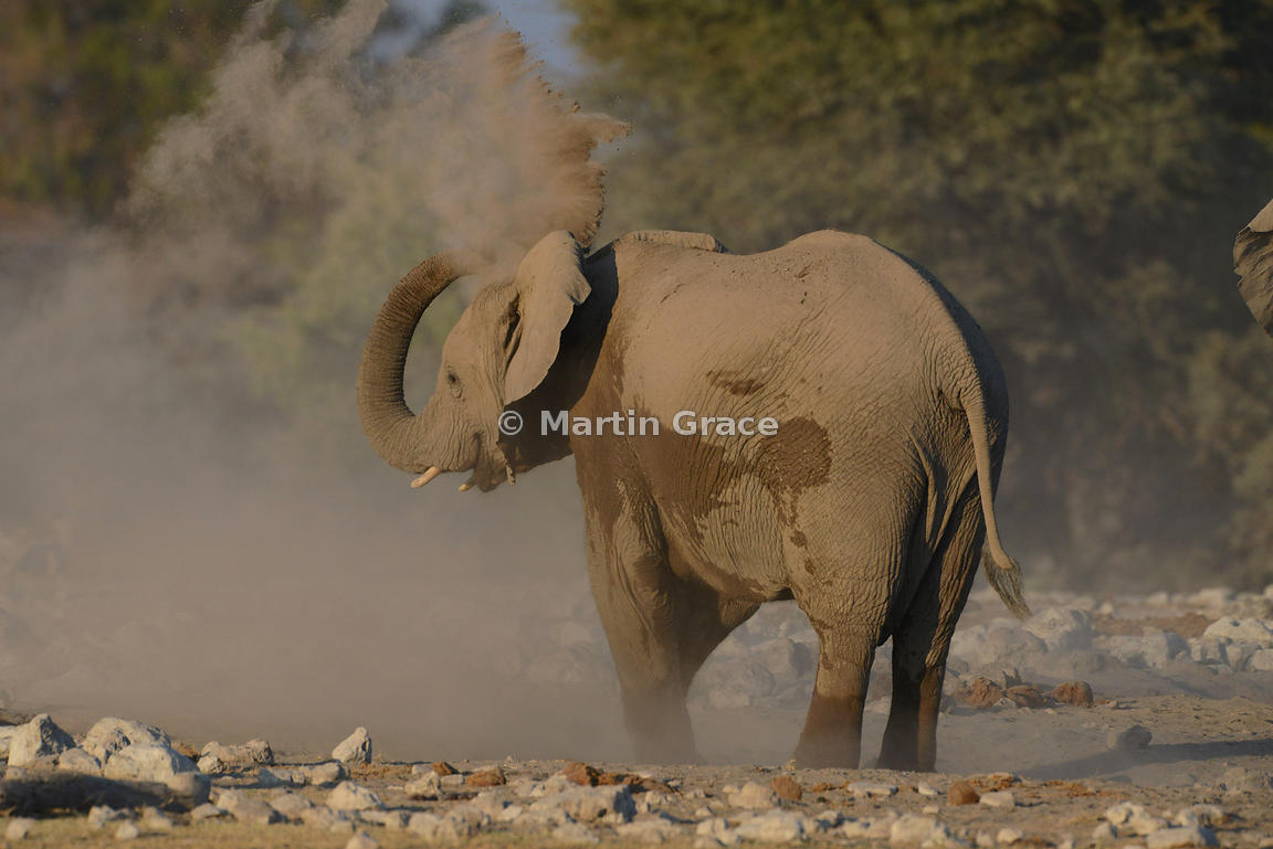 African Elephant (Loxodonta africana) dust-bathing, Etosha National Park, Namibia: Image 3 of 4