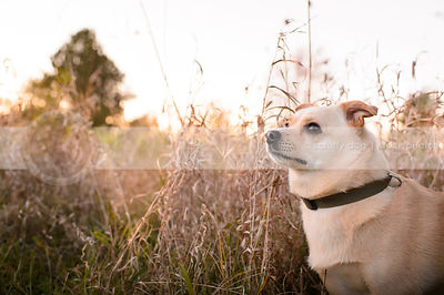 little blond dog standing in tall dried grasses