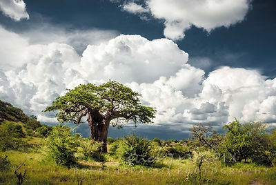 Single baobab tree with fluffy cumulo nimbus thunder clouds building up in the background.