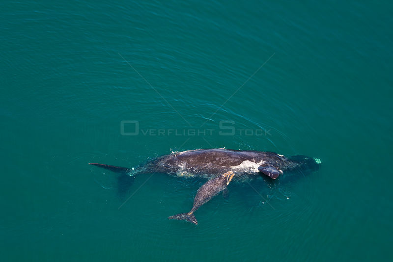 Aerial view of Southern right whale (Eubalaena australis / Balaena glacialis australis) mother anf calf. Valdes Peninsula, Patagonia, Argentina, Oct 2008