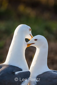 Western Gulls Grooming Each Other on Anacapa Island