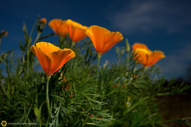 California Poppies #5
