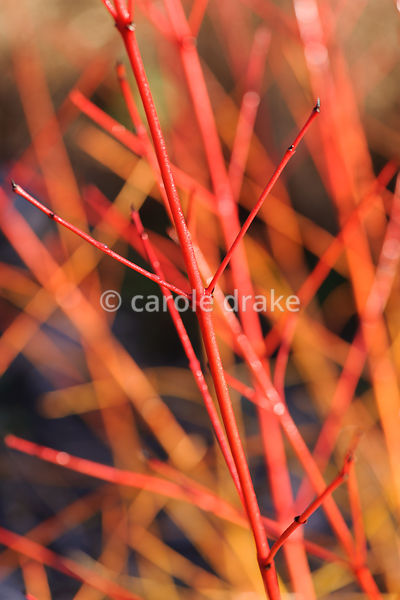 Cornus sanguinea 'Anny's Winter Orange'. Sir Harold Hillier Gardens, Ampfield, Romsey, Hants, UK