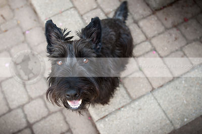 cute little black scottie dog looking upward with minimal background