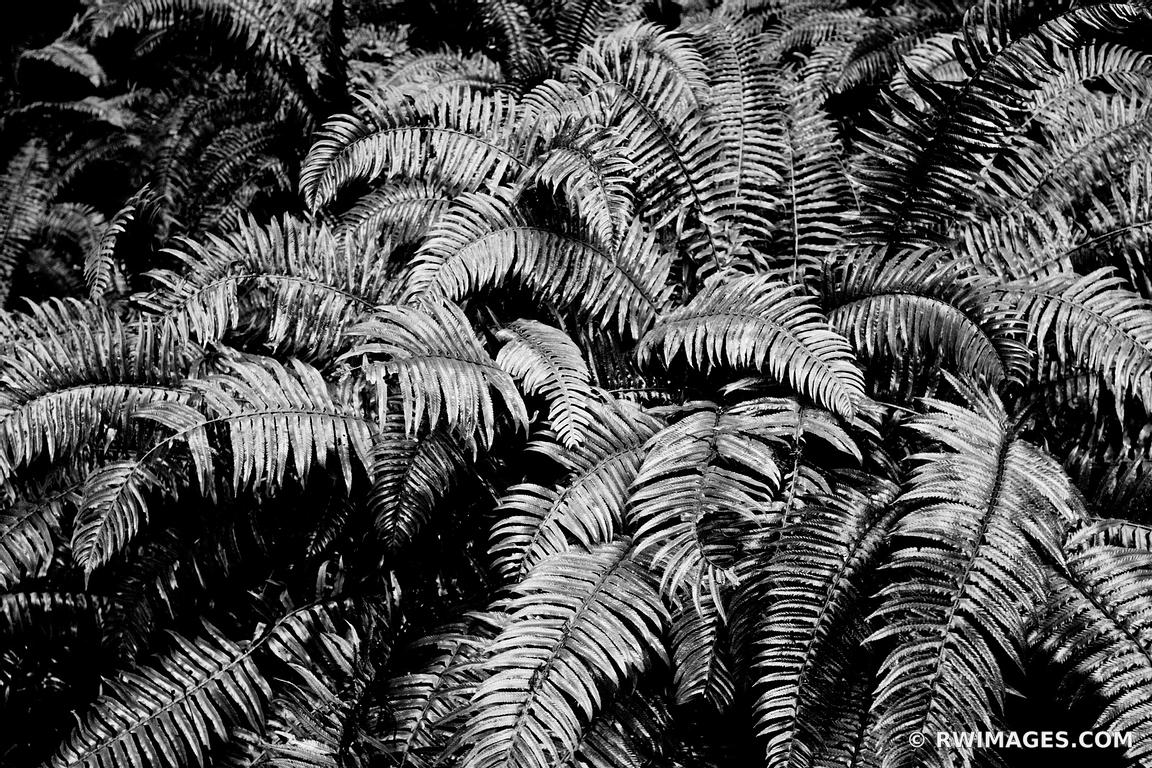 Photo print of ferns olympic national park washington for Buy fine art photography