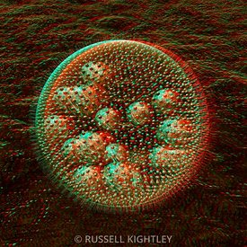 Anaglyph of Volvox, a spherical colonial green alga