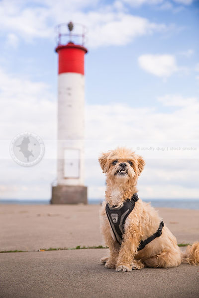 humorous little cream dog with underbite staring posing on pier