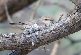 Vermillion Flycatcher, Female on nest