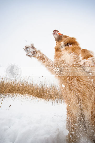 crazy red dog leaping for ball from snow field