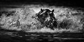 5500-Hippo_crossing_the_river_Tanzania_2007_Laurent_Baheux