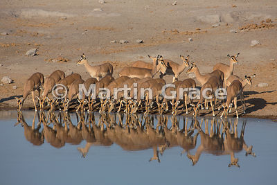 Herd of female Black-Faced Impalas (Aepyceros melampus petersi) drinking from Chudob waterhole, Etosha National Park, Namibia