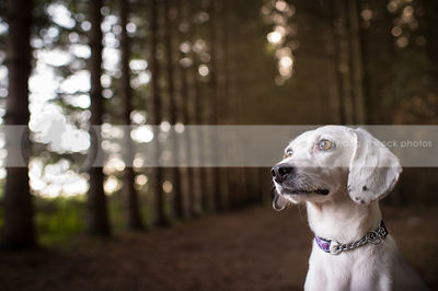 portrait of cute little white cross breed dog in pine forest