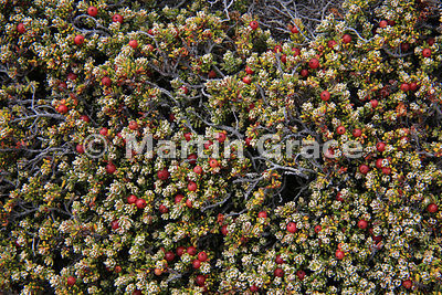 Diddle-Dee (Empetrum rubrum) showing its red berries, typically a dominant species of Falkland dwarf shrub heath, Carcass Island, Falkland Islands