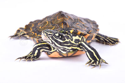 Ringed sawback turtle (Graptemys oculifera) photos