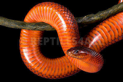 Collett's snake (Pseudechis colletti)  photos