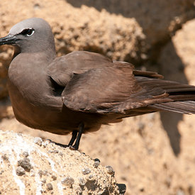 Brown Noddy wildlife photos