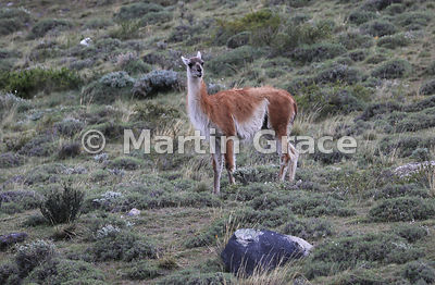 Solitary Guanaco (Lama guanicoe) standing guard, Torres del Paine, Patagonia, Chile