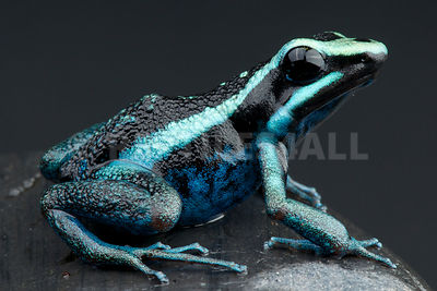 Striped giant dart frog (Amereega bassleri) photos